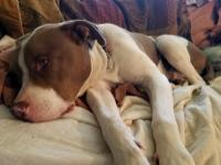 Breed: American Staffordshire Terrier X DOB: 2/2013