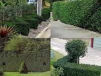 PRIVACY HEDGE PLANTS SALE!!! NEED PRIVACY? WE CAN HELP.