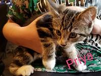 My story Priya is a 2 month old female domestic short