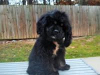 This is Silkie, she is a 4 months old female black/tan