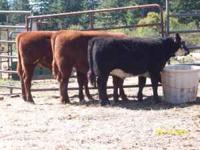Project Calves for 2012 season, Quality, gentle calves,