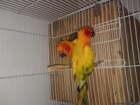 i have a prooven pair of sun conures perfect health and