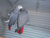 PROVEN BRED PAIR CONGO GREYS, HAVE RAISED BABIES