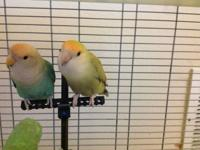 Selling a proven breeding pair of lovebird. Raised