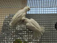 I have a proven breeding Pair of Hyacinth Macaws I am
