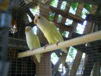 Proven pair lovebird. Both are one year old. they are