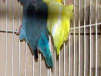Nice proven pair of pacific parrotlets. Male is lutino