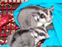 We are selling oue breeding pair of sugar gliders and