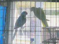 RETIRING FROM BREEDING except for a few budgies and