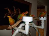 Proven pair of sun conures, female is 7 yrs old and
