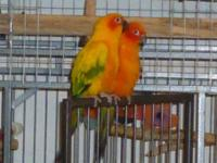 I have a proven pair of Sun conures to sell/rehome.