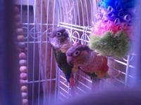 I have a proven breeding pair of yellow sided conures.