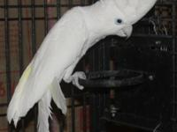 Single Ducorps Cockatoo $600 Proven pair of Yellow Face