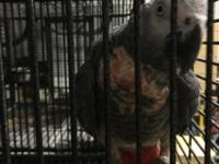 Proven pair of Red factor African greys $1800 Proven