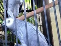 Proven pair of African grey congo Camaroon plucking
