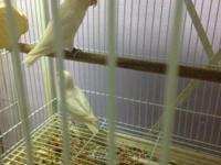 I have one pair of lovebird For sale male is white