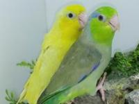 For sale one breeder Parrotlet pair . proven I did