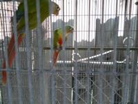 Pineapple proven pair $300 Yellowsided proven pair
