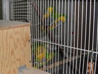 Pair of proven Senegal Parrots; male is named Archie,