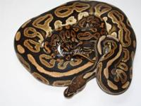 '08 1200 grams Proven breeder male black pastel for