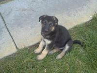3 male and 2 female prue type German Shepherd puppies