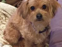 Pucci is a 2 year old poodle / Shih Tzu Mix that weighs