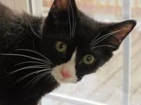 Puck's story Puck, DSH Black and White Tuxedo neutered