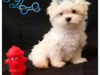 Animal Type: Dogs Breed: Maltese Call Name: Puff M017