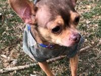 Introducing Puffer, an 8 year old male chihuahua!