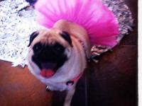Pug - Addie - Small - Adult - Female - Dog Name: Addie