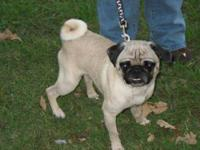 Pug - Arlo - Small - Adult - Male - Dog Name: Arlo Age: