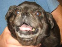 Pug - Bella - Small - Adult - Female - Dog Name: Bella