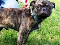 Pug - Bentley - Small - Young - Male - Dog Bentley is a