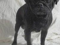 Pug - Betty - Small - Adult - Female - Dog Hello, My