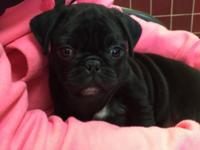 Black pug wit front two paws white with black dots. I
