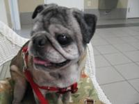 Pug - Boomer - Small - Adult - Male - Dog This is
