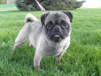 Pug - Cashew - Small - Young - Male - Dog Cashew is an