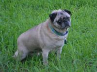 Pug - Champ : Adopted! - Medium - Adult - Male - Dog