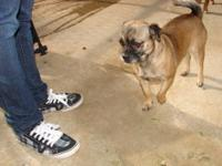 Pug - Dixie - Small - Adult - Female - Dog Dixie is a