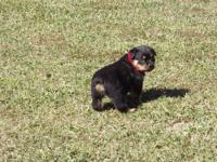 AKC Beautiful Fawn w/ blk mask female with lots of