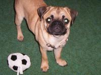 Pug Female Puppy between 4-5 months old Apricot/Fawn