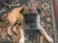 2 year old male pug for sale, fawn, not fixed, purebred