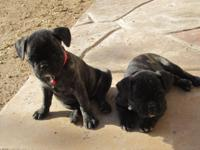 I have 2 female brindle pug/frenchie for sale. They