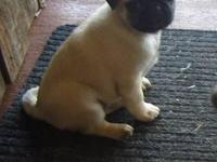 I have 4 beautiful fawn pug girls for sale. They are 8