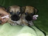 Hello, we have two adorable baby pugs ready to be