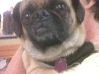 Pug - Gunther - Small - Adult - Male - Dog Gunther came