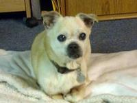 Pug - Holly (pug) - Small - Senior - Female - Dog