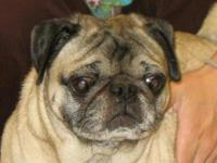 Pug - Ian (puggy) - Small - Adult - Male - Dog Name: