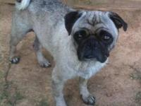 Pug - Jake - Small - Adult - Male - Dog Not ready to
