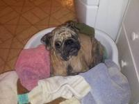 Pug - Lorena - Small - Adult - Female - Dog This little